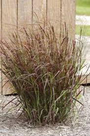 miscanthus huron is a deer proof ornamental grass easy to