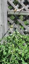 how to stake up the garden our twenty minute kitchen gardenour