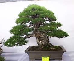 the best most expensive bonsai market bonsai bark