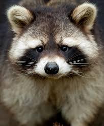peter worthington u0027s losing battle with raccoons