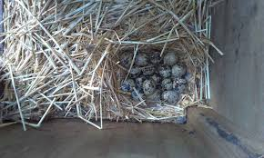 coturnix quail hatched her own eggs backyard chickens