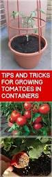 10 Tips For Growing Peppers by 6 Awesome Tips For Growing Carrots In Your Garden Growing