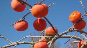 plant a persimmon southern living