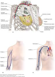 Axial Shoulder Anatomy Chapter 30 Shoulder And Axilla The Big Picture Gross Anatomy