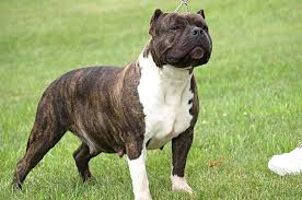 american pit bull terrier history the history of brindle pit bulls viral fancy