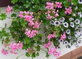 balkon blumen balkonblumen pflanzenkosmos