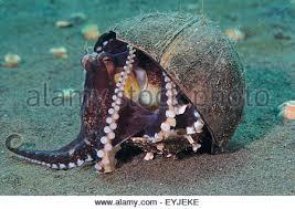 a coconut octopus amphioctopus marginatus hanging onto its
