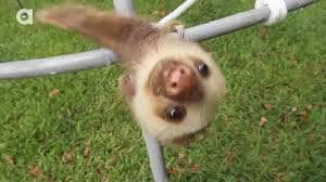 Angry Sloth Meme - baby funny gif by grojora find download on gifer