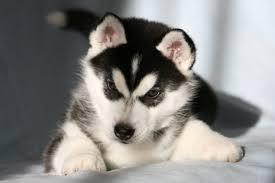 husky puppy wallpaper wallpapersafari