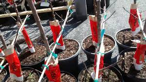 100 patio fruit trees for sale frugal gardening u2013 how