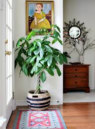 mejores árboles de interior plantas de la casa canastos