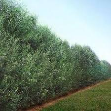 Backyard Privacy Trees Fast Growing Shrubs U0026 Hedge Plants Fast Growing Trees Outdoor