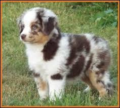 australian shepherd 8 months mini aussie pup for sale 2014 litter 5 callie pup 1 red merle