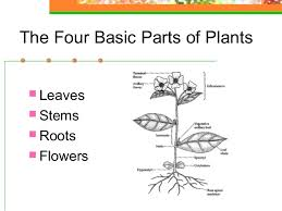 Simple Anatomy And Physiology Plant Anatomy U0026 Physiology
