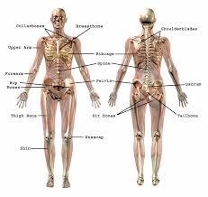 Anatomy Of The Human Body Bones Common Bone Names Effortless Movement