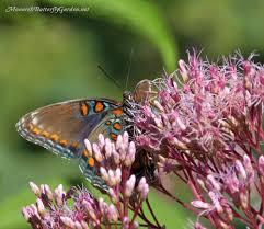 spotted joe pye gateway to butterflies