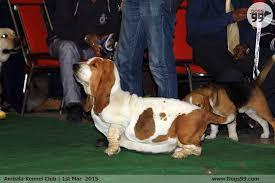 boxer dog 2015 ambala dog show 2015 42 dog shows