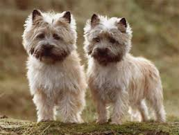 cairn terrier haircuts cairn terrier grooming home