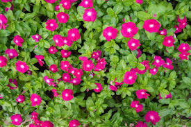 vinca flowers vinca flowers stock photo image 49118277