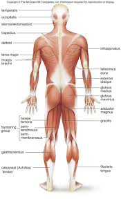 Anatomy Of Shoulder Muscles And Tendons Superficial Muscles Posterior View Superficial Skeletal Muscles