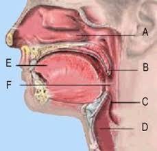 Human Anatomy Respiratory System Lecture Exam 2 Respiratory System Human Anatomy 220 With