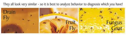 Whats Trending Fungus Gnats Fruit Flies Drain Flies N Nat - Small flies in kitchen sink