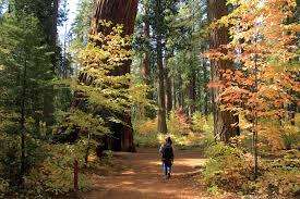 calaveras big trees state park where the sequoias were
