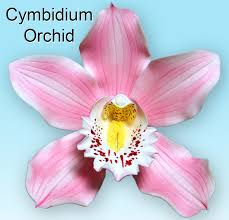 cymbidium orchid cymbidium orchid veiner world of sugar