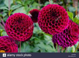 pom pom flowers stock photos u0026 pom pom flowers stock images alamy