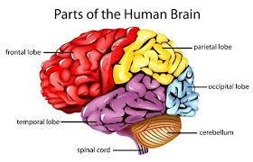 The Human Anatomy Pictures Lobes Of The Human Brain Biology101 Study Guide Science For