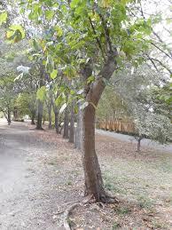 memphis trees