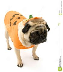 pumpkin costume halloween pugs in pumpkin costumes
