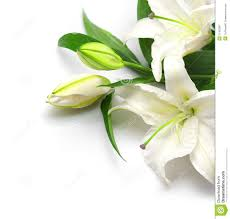 white lilies bouquet of white lilies stock image image 21350281