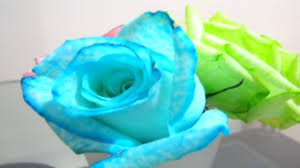 turquoise roses diy how to color roses