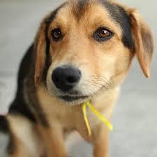 australian shepherd husky lab mix german shepherd beagle mix warm hearted love pinterest
