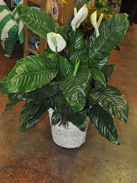 plants for funerals affordable funeral plants delivered in macon ms busy bee