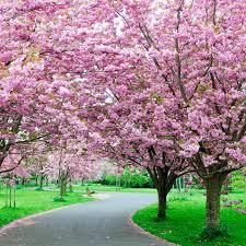 cherry blossom trees on sale prunus kanzan shop now