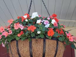 Best Plants For Hanging Baskets hanging basket care maple leaf lawncare inc