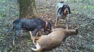 bluetick coonhound bloodlines reynolds forestry consulting quality timber management in