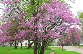 spring update 7 redbuds flowering pear tree leaf out u2013 iowa