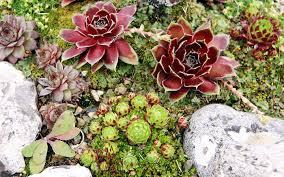 28 rock garden plants uk royal botanic garden edinburgh