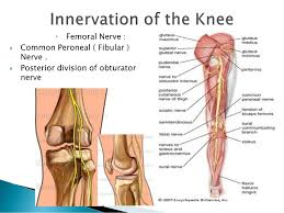 Anatomy Of Knee Injuries Knee Joint Anatomy And Clinical