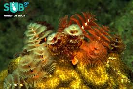 christmas tree worms marine life facts