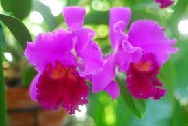 cattleya orchids cattleya corsage orchid