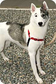 american eskimo dog adoption seattle wa american eskimo dog meet oscar beautiful american