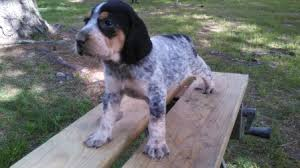 videos of bluetick coonhounds female 3 jpg