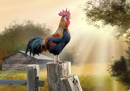 26 rooster hd wallpapers backgrounds wallpaper abyss