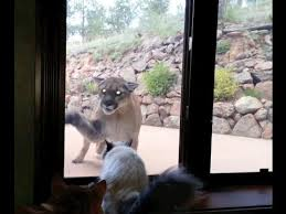 Cat Meme I Should Buy A Boat - brave pet cat stands up to mountain lion cute cats vs mountain