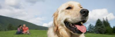 Comfort Retrievers For Adoption Mountain Pet Rescue Website Help Match A Pet With A Loving Home