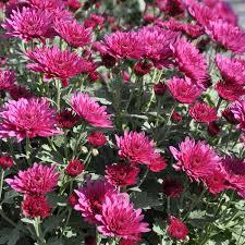 herbstbepflanzung balkon herbstblumen und pflanzen tipps für den herbstlichen blumengarten